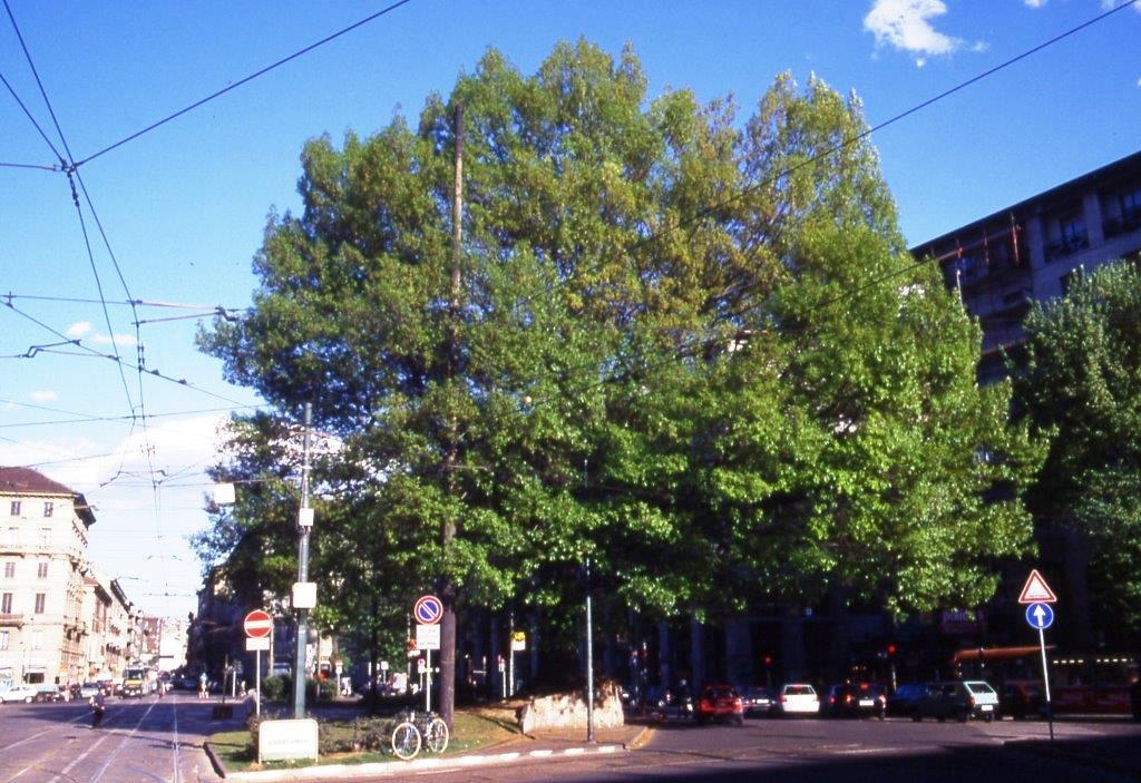 XXIV Maggio - Quercus rubra - Primavera