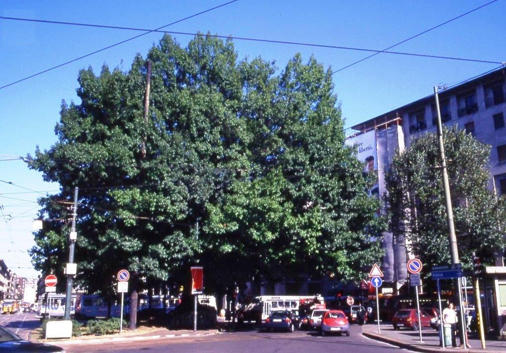 XXIV Maggio - Quercus rubra - Estate