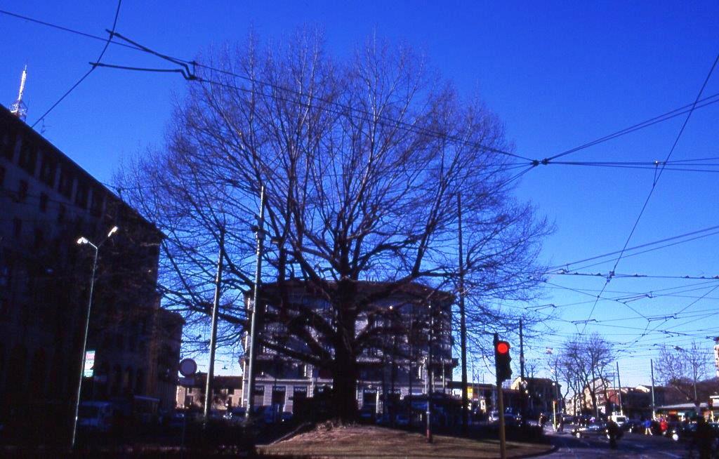 1999_02_10 - XXIV Maggio - Quercus rubra
