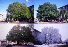Una quercia monumentale scandisce lo scorrere delle stagioni a Milano