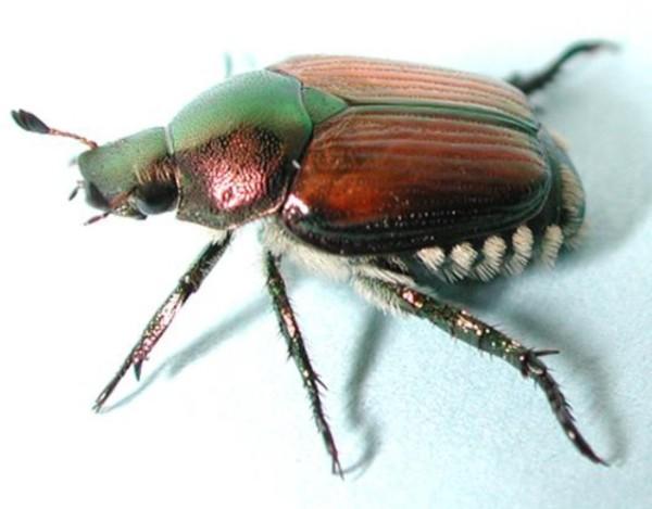 Comunicato del servizio fitosanitario relativo agli interventi di lotta obbligatoria contro l'insetto da quarantena Popillia japonica.