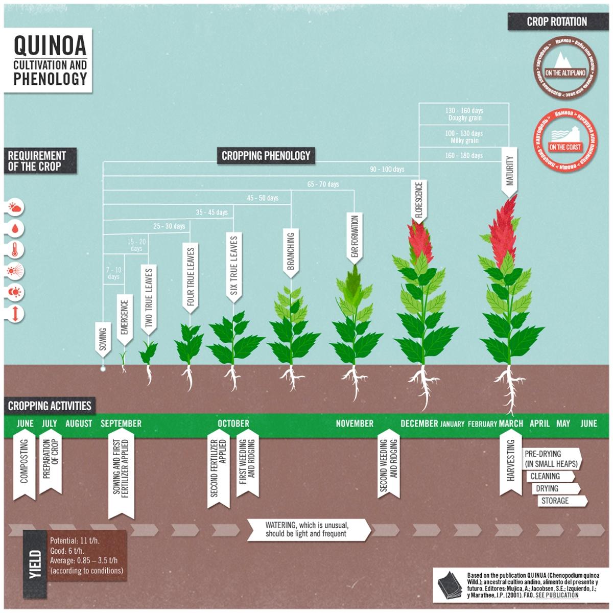 quinoa7