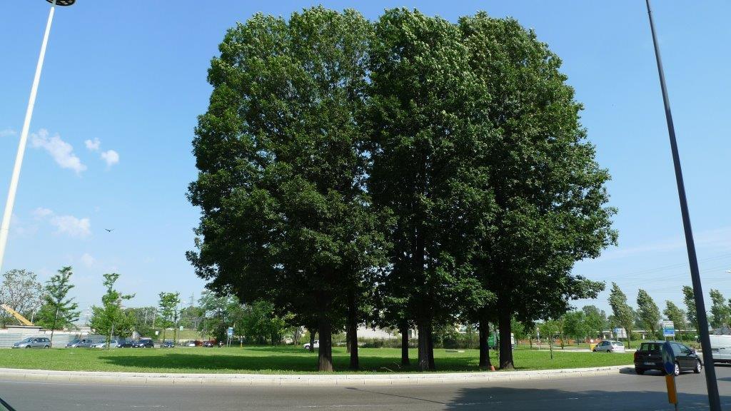 Rotonda Olgettina dopo - il gruppo di querce