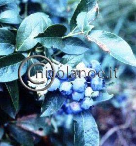 Mirtillo gigante: eccellente frutto per il consumo fresco