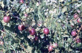Ribes e Uva spina: ecco alcune notizie utili